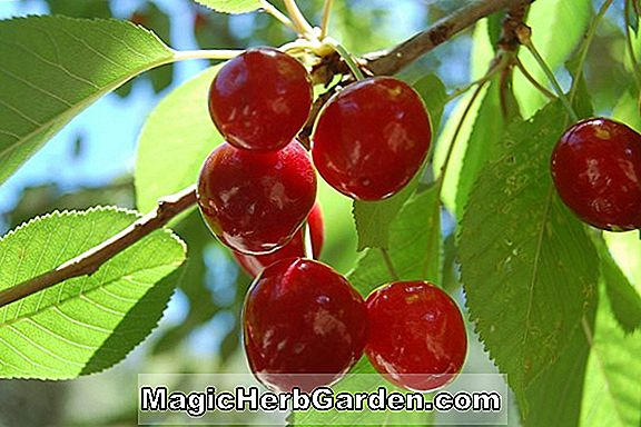 Prunus (Bing Sweet Cherry)