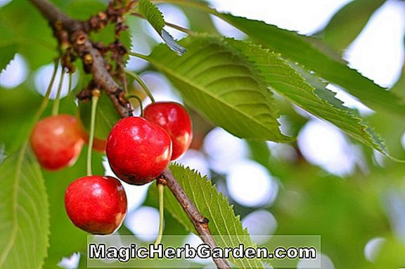 Prunus (Corum Sweet Cherry)