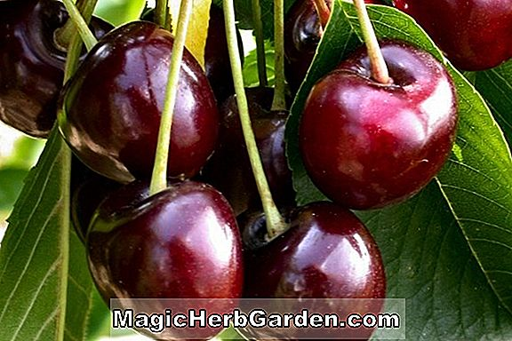 Prunus (Hedelfingen Sweet Cherry)