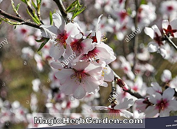 Prunus armeniaca (New Improved Flaming Gold Apricot)