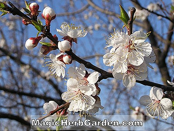 Planter: Prunus armeniaca (Red Royal Apricot)