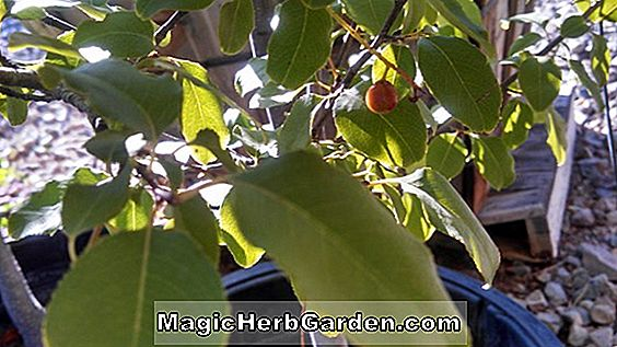 Planter: Prunus persica (Desert Gold Peach)