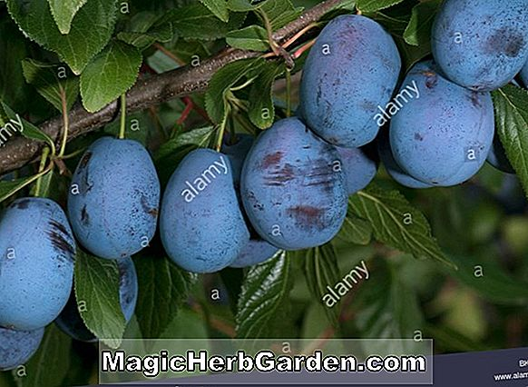 Prunus domestica (Brooks European Plum)