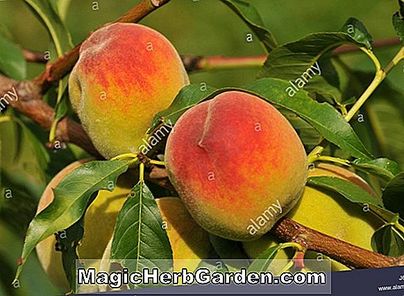 Prunus persica (Sugar Giant Peach)