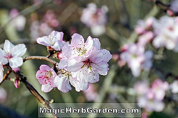 Prunus persica (White Heath Cling Peach)