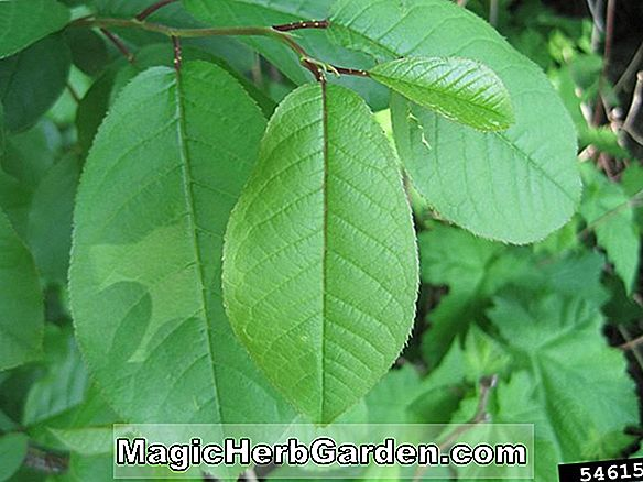 Prunus virginiana (Common Choke Cherry)
