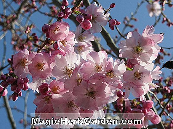Planter: Prunus (Accolade)