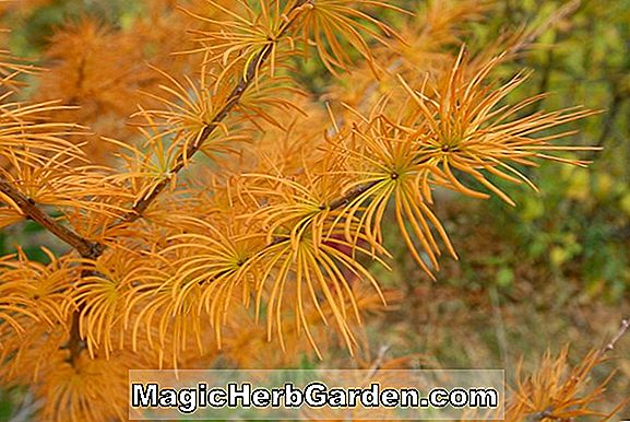 Psuedolarix kaempferi (Golden Larch)