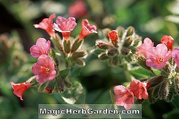 Pulmonaria rubra (Red Lungwort)