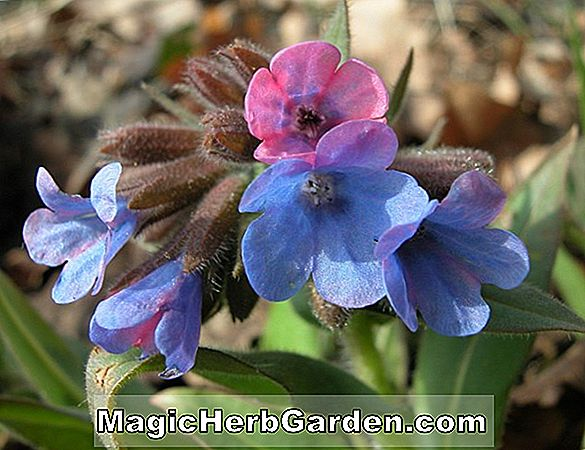 Pulmonaria vallarsae (Lungwort)