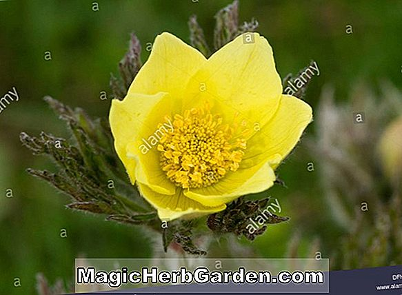 Planter: Pulsatilla alpina (Alpine Pasque Flower)