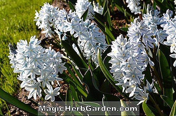 Puschkinia libanotica (Striped Squill)