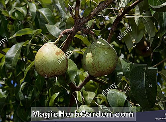 Pyrus communis (Merricourt Pear)
