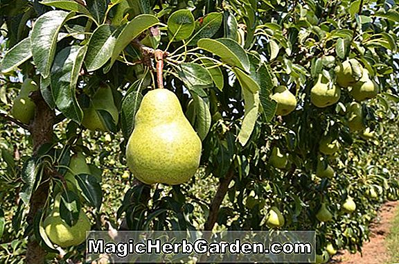 Pyrus communis (Duchess Bronzee Pear)