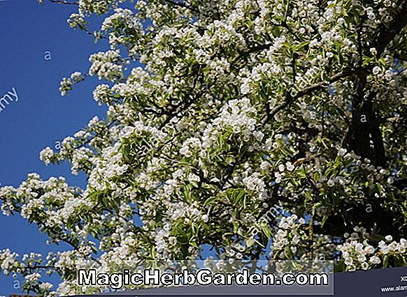 Pyrus communis (Flemish Beauty Pear)