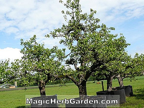 Pyrus communis (Saint Andre Pear)