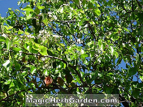 Pyrus kawakamii (Evergreen Pear)
