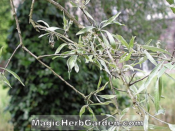Pyrus salicifolia (Willowleaf Pear)