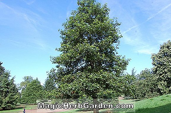 Quercus bicolor (Swamp White Oak)