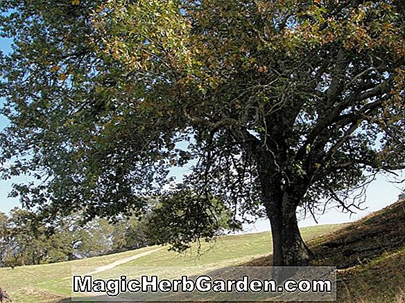 Quercus kelloggii (California Black Oak)