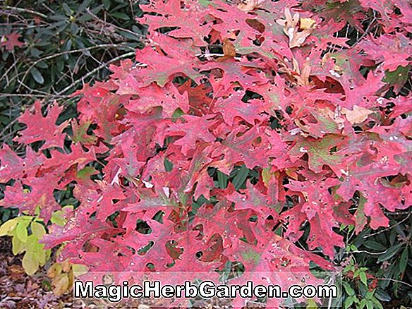 Planter: Quercus rubra (Red Oak)