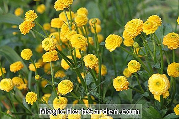Ranunculus repens (Pleniflorus Double Creeping Buttercup)