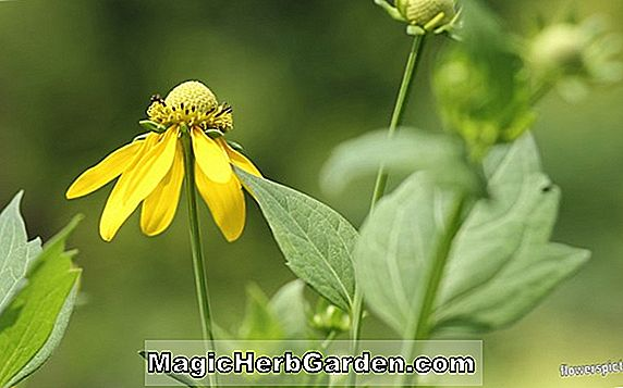 Ratibida pinnata (Gray-Head Coneflower)