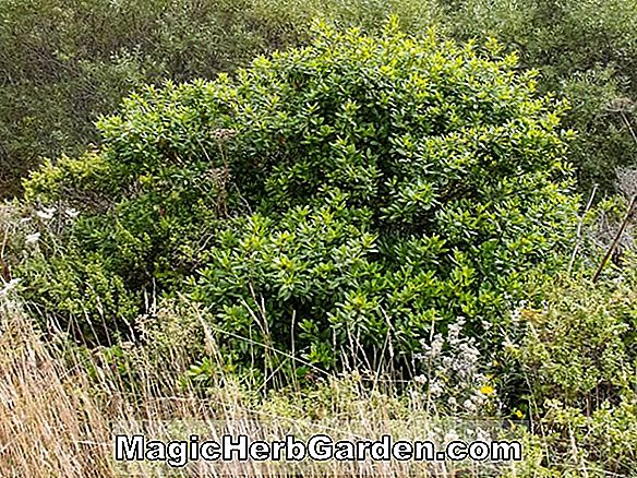 Rhamnus californica (Seaview Coffeeberry)