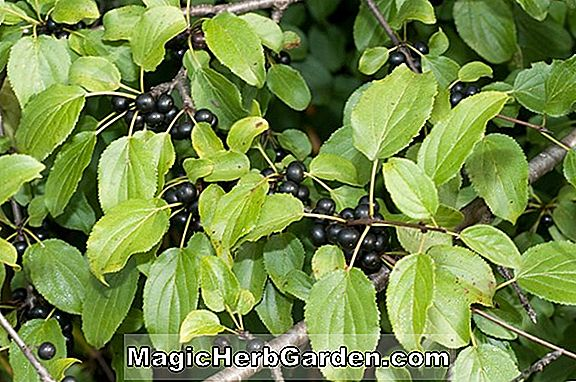 Rhamnus cathartica (Common Buckthorn)