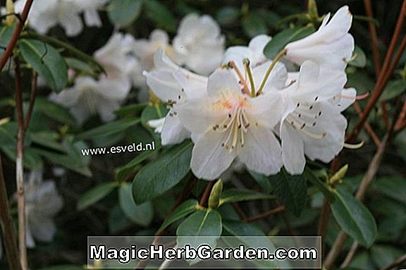 Rhododendron (Alison Johnstone Rhododendron)