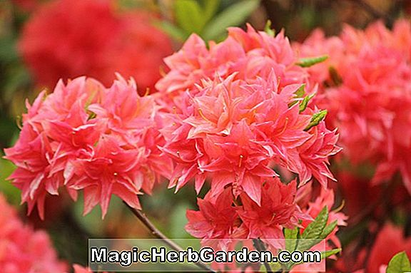 Rhododendron (Favor Major Exbury Azalea) - #2