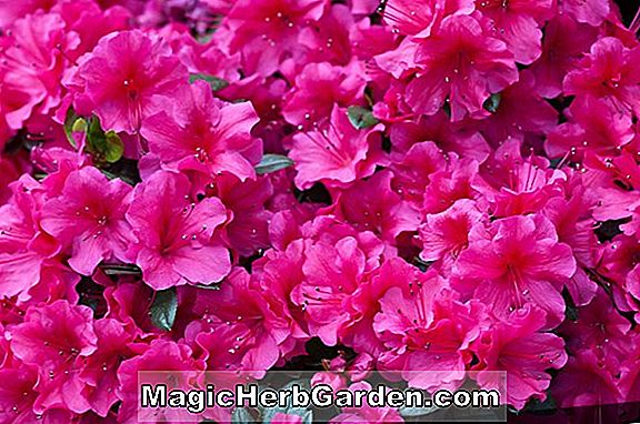 Planter: Rhododendron (Heather Kurume Azalea) - #2