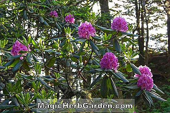 Rhododendron (High Fashion Knap Hill Azalea) - #2