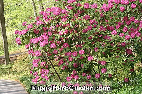 Rhododendron (Jimmy Coover Gable Hybrid Azalea) - #2