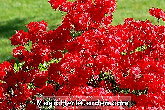 Rhododendron (Old Faithful Gable Hybrid Azalea) - #2