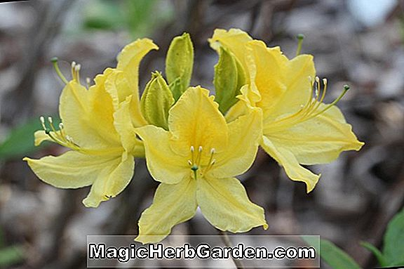 Plantes: Rhododendron ('Strawberry Ice' Exbury Azalea) - #2