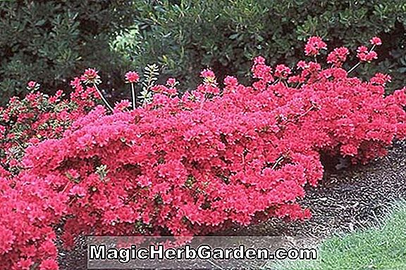 Planter: Rhododendron (Mountain Laurel Kurume Azalea) - #2