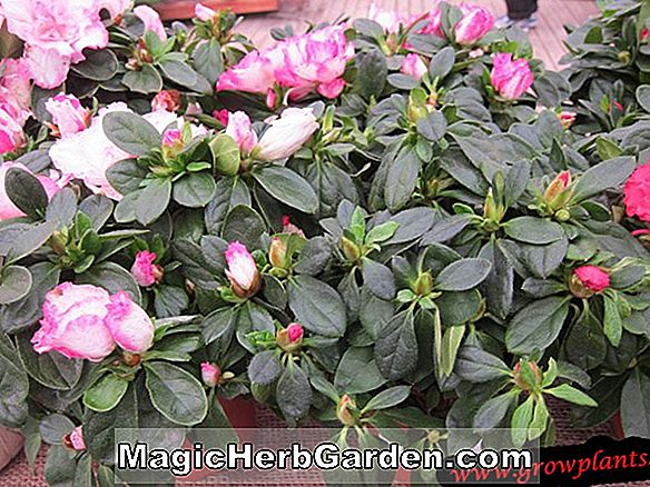 Rhododendron (New White Southern Indian Hybrid Azalea)