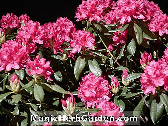Rhododendron (Nuance Leach Rhododendron)