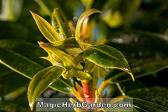 Rhododendron (Orange Pride Southern Indian Hybrid Azalea) - #2