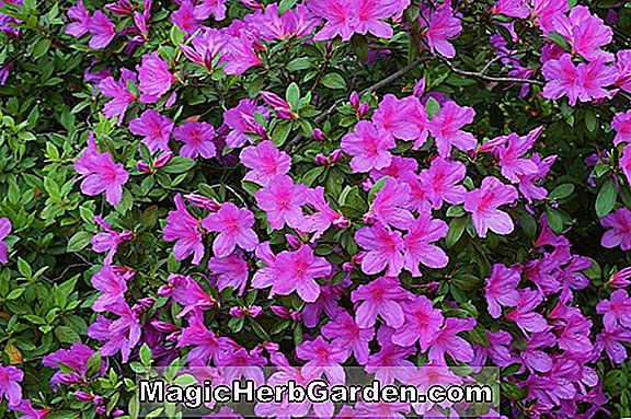 Rhododendron (Red Formosa Southern Indian Hybrid Azalea) - #2