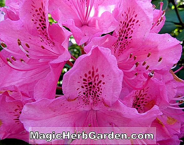 Rhododendron (Pot of Gold Knap Hill Azalea)