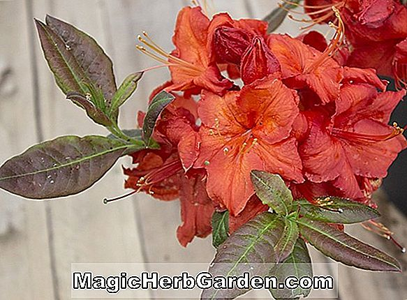 Rhododendron (Royal Lodge Knap Hill Azalea)