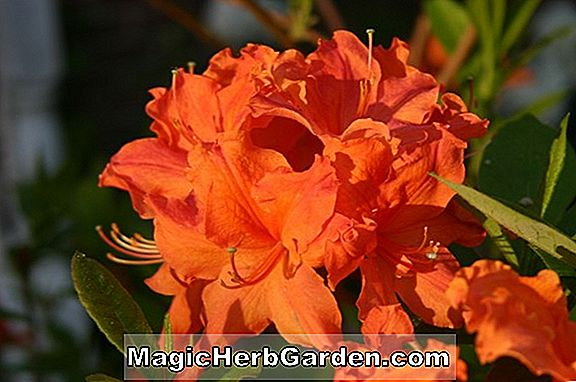 Rhododendron (Red Gem Ilam Azalea Hybride)