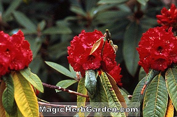 Rhododendron (Hvid Orchids Gold Cup Azalea)