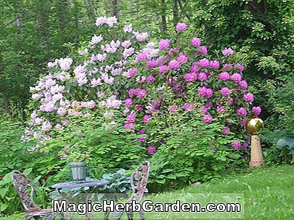 Rhododendron (Willie Belle Mayo Pericat Hybride Azalee) - #2
