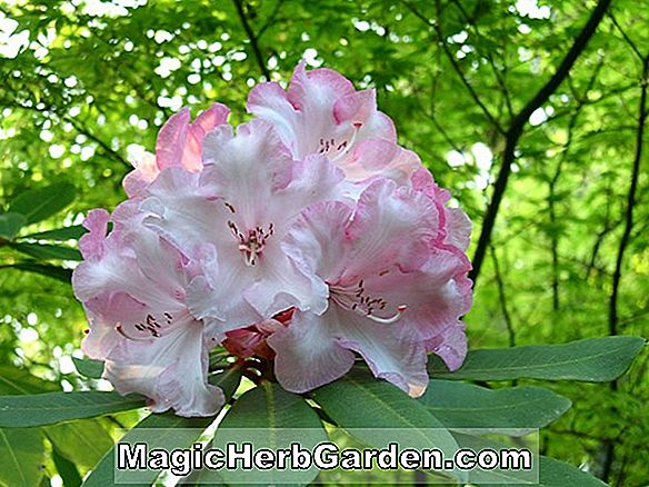 Rhododendron (Commandement Royal Exbury Azalea)