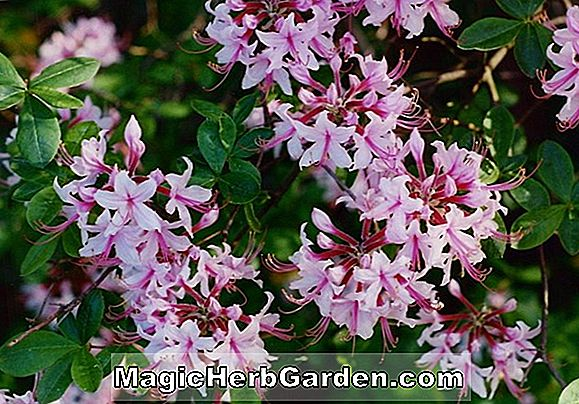 Rhododendron (Coral Redwing Belgian Indian Azalea)