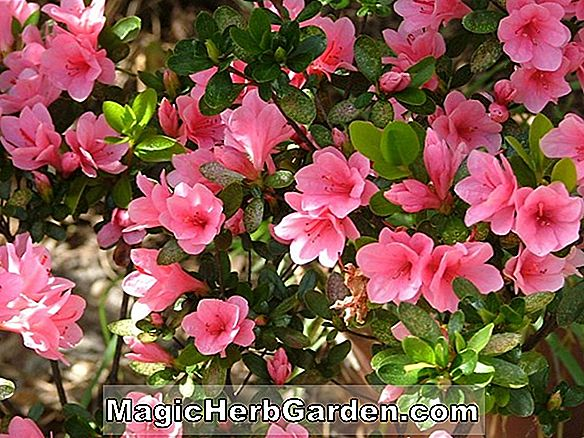 Rhododendron (Florida Beauty Belgian Indian Azalea)