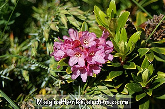 Rhododendron (Doc Rhododendron) - #2